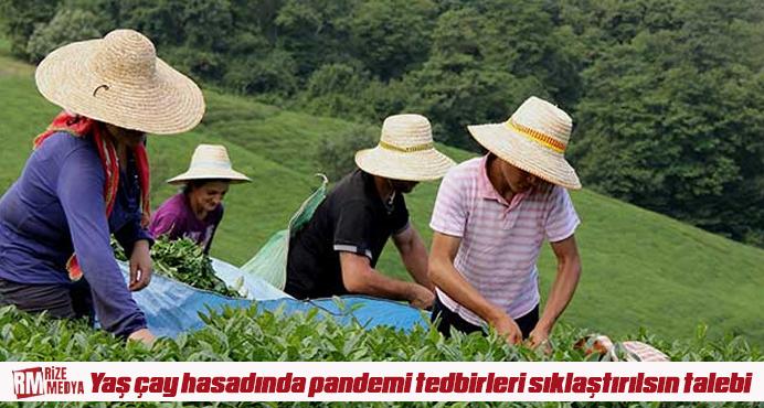 Yaş çay hasadında pandemi tedbirleri sıklaştırılsın talebi