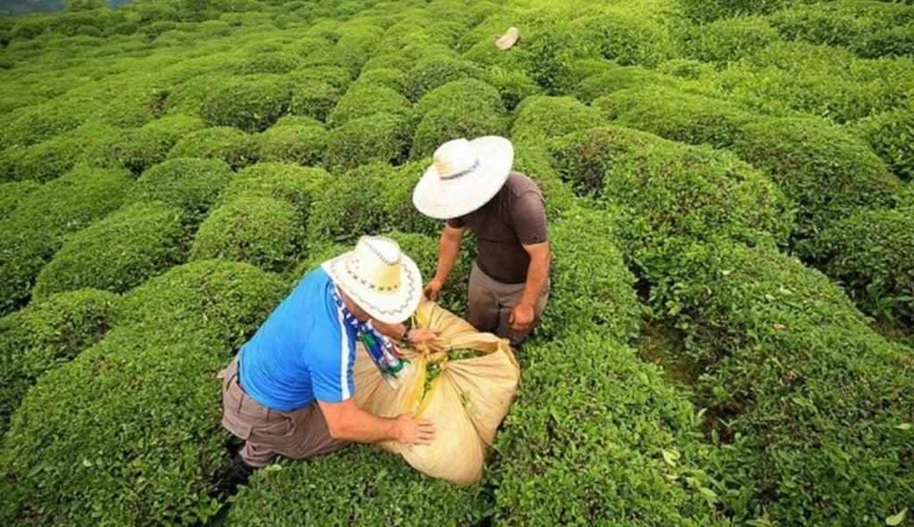 Çay üreticisi: Fiyat tatmin edici, destekleme primi artırılsın