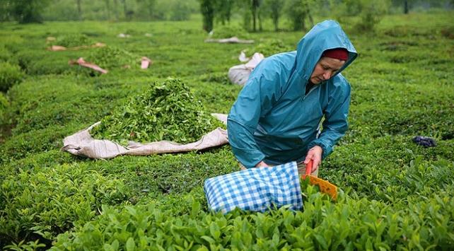 ÇAYKUR günlük yaş çay alımında kapasitenin üzerine çıktı