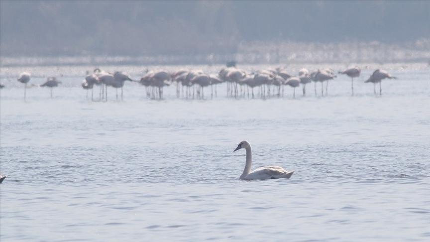 İzmit Körfezi flamingo ve kuğularla şenlendi