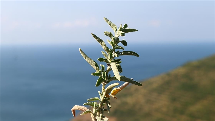 Ganos Dağı eteklerinden toplanan ada çayı 7 ülkeye ihraç ediliyor